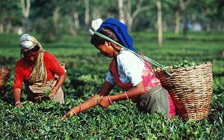 Assam Tea- Bold, Rich, and Wonderful
