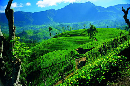 A Crash Course in Ceylon Tea