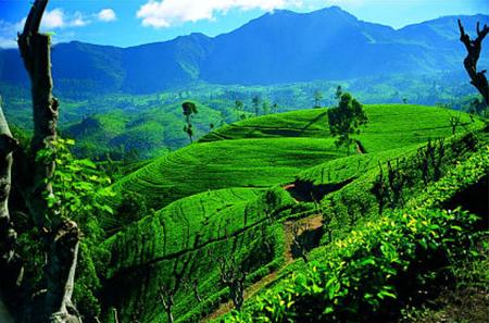 A Crash Course in Ceylon Tea