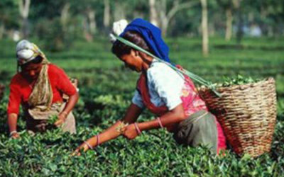 Assam Tea- Bold, Rich, and Wonderful
