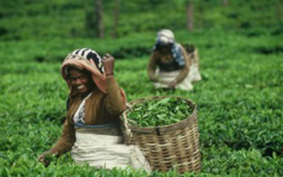 What you need to know about  organic versus Fairtrade tea