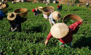 Drinking tea supports economies