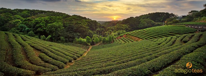 Different Teas - a Review of 10 Adagio Teas